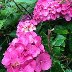 見頃の紫陽花